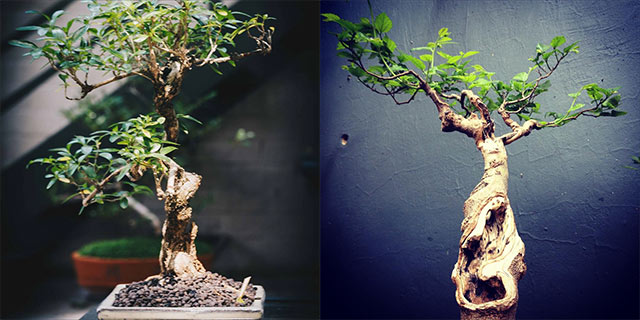 Top Billing learns the art of bonsai cultivation 4